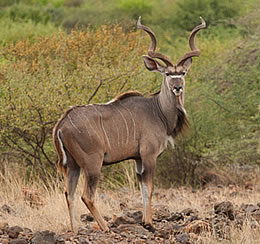 Greater Kudu, Lake Bogoria - Kenya