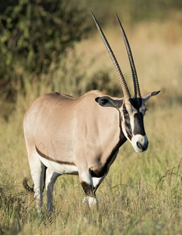 The stately Beisa Oryx