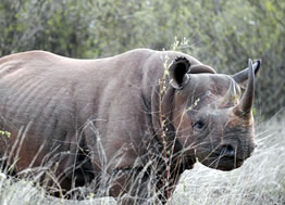 Tsavo West Black Rhino