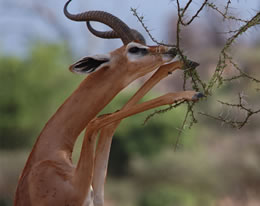 Samburu Male Gerenuk