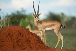 Tsavo East Gazelle